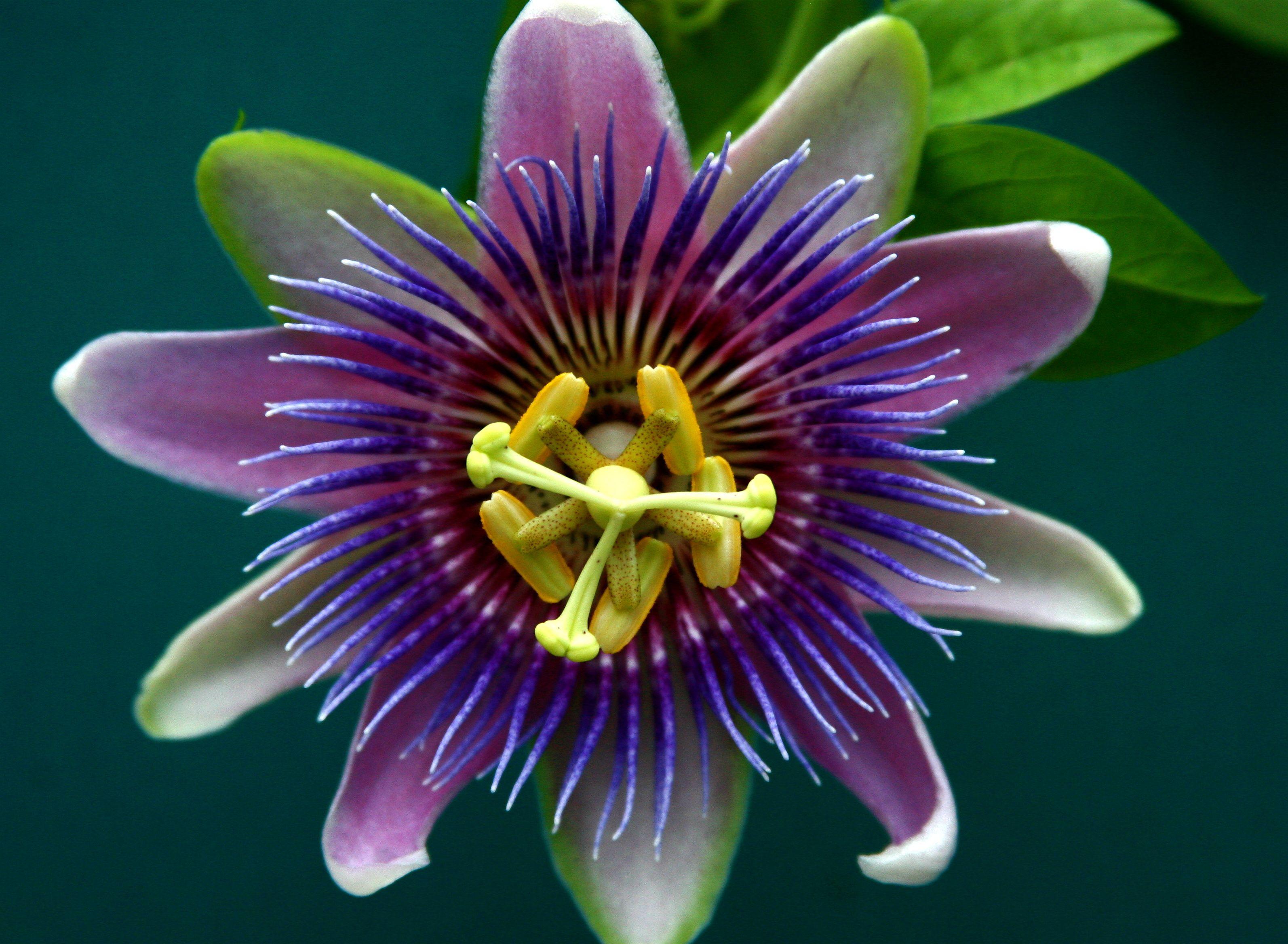 Scent Sensibility The Passion Flower Passion Flower Passion Fruit Flower Purple Passion Flower