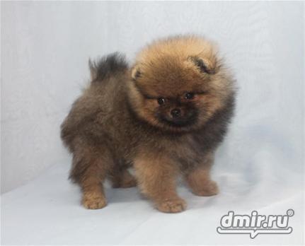 Pomeransky Google Search Pup Animals Dogs