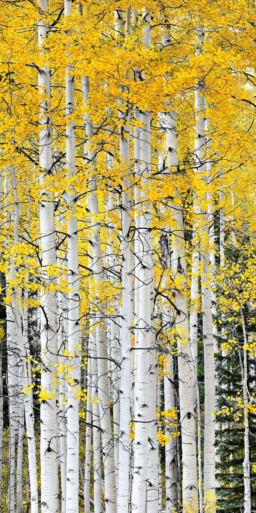 Aspen Trees, Crested Butte, Colorado - beautiful! Spent my honeymoon ...