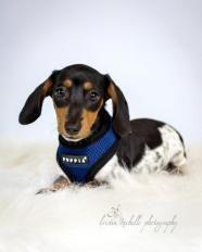 Dachshund Baby Male Small Underdog Rescue Mn Saint Louis Park Mn Dog Adoption Dachshund Dog Baby Dachshund