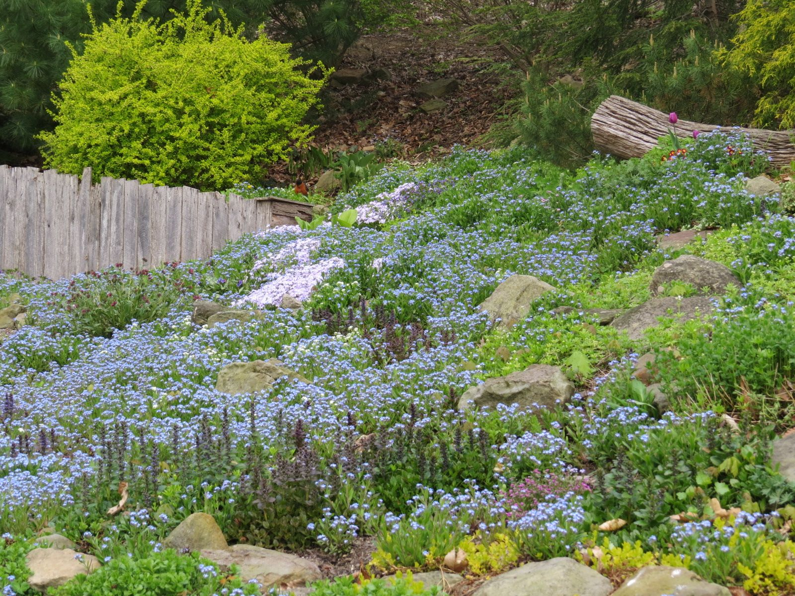 Spring flowers in shady rock garden. Visit: https://www.etsy.com/shop/GreenLeafGardens?ref=hdr_shop_menu