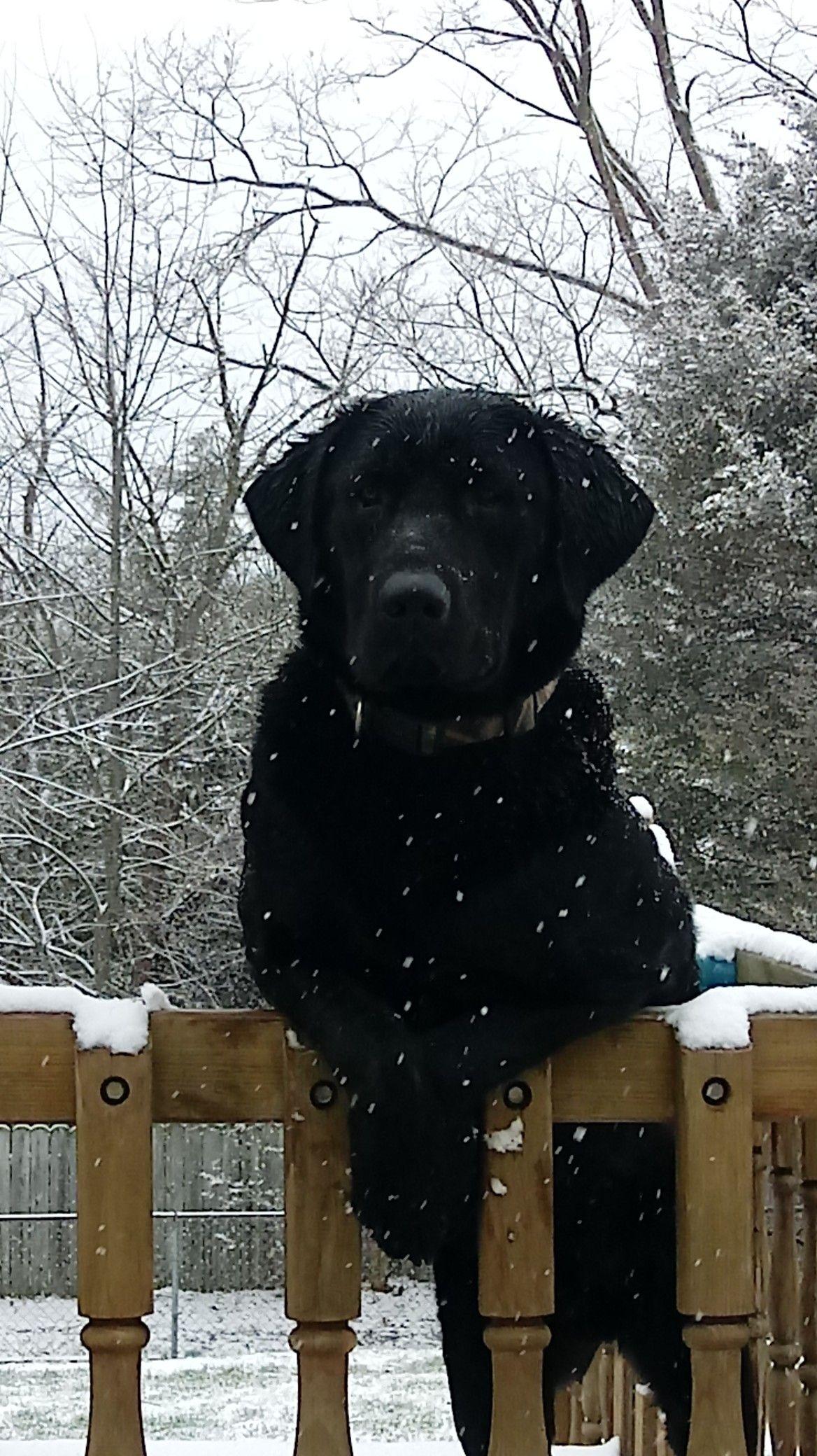 Chocolate Lab Black Lab Golden Retriever Labrador Retriever