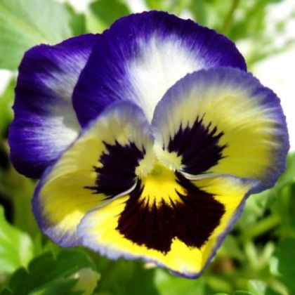 Pansy Flower Growing Care Harvesting For Edible Flowers Leaves Plant Information Climate Hardiness Zone Use Pansies Flowers Growing Flowers Pansies
