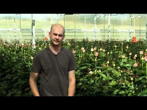 Ruusuja kotiin - Kolmannen sukupolven kasvihuoneyrittäjä Olli Marttila viljelee ruusuja Kangasalla -video