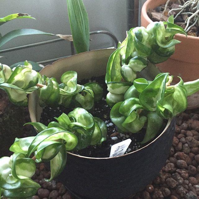 Tradescantia x6 Cuttings- Wandering Jew plant #wanderingjewplant