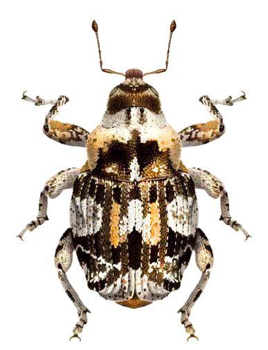 Pseudoxyonyx meregallii