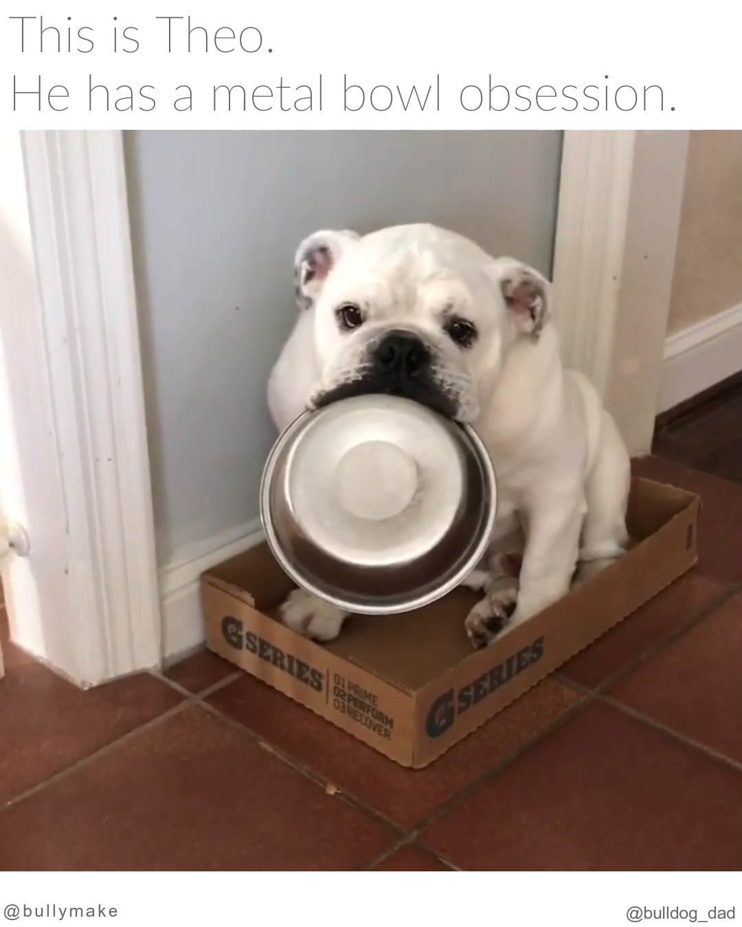 English Bulldog is Obsessed with Metal Bowls #funnybulldog He never goes anywhere without one. via: @bulldog_dad . Follow @bullymake for more adorable bulldogs!⠀ . #bulldog #bulldogdays #bulldoglove #bulldoglife #bulldogsofig #bulldogs #bulldogsofinstagram #bulldogingles #englishbulldog #englishbulldogs #englishbulldogsofinstagram #dogs #dogsofinstagram