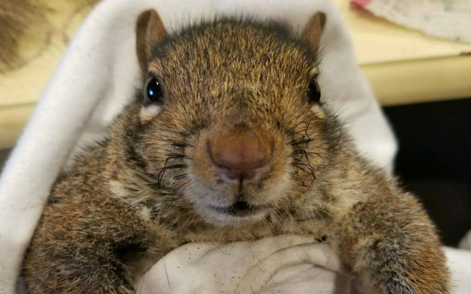 Wonderful Woman Drives 45 Minutes To Help Injured Squirrel Who Fell Through A Lit Chimney Little Dogs Squirrel Girl Falling
