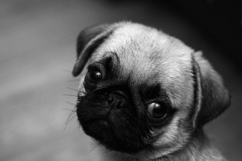 Pug Wallpaper Download Free Hd Backgrounds For Desktop And Mobile Devices In Any Resolution Desktop Andro Pug Puppies Cute Pug Puppies Black And White Pug