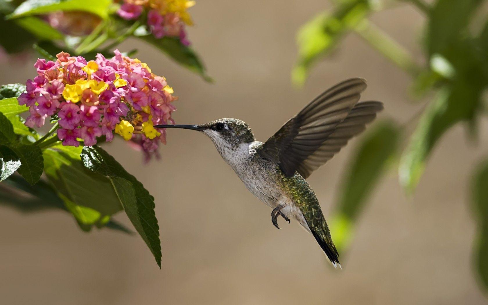 Download Hintergrund Vogel, Kolibri, Blumen, Nektar Freie desktop ...