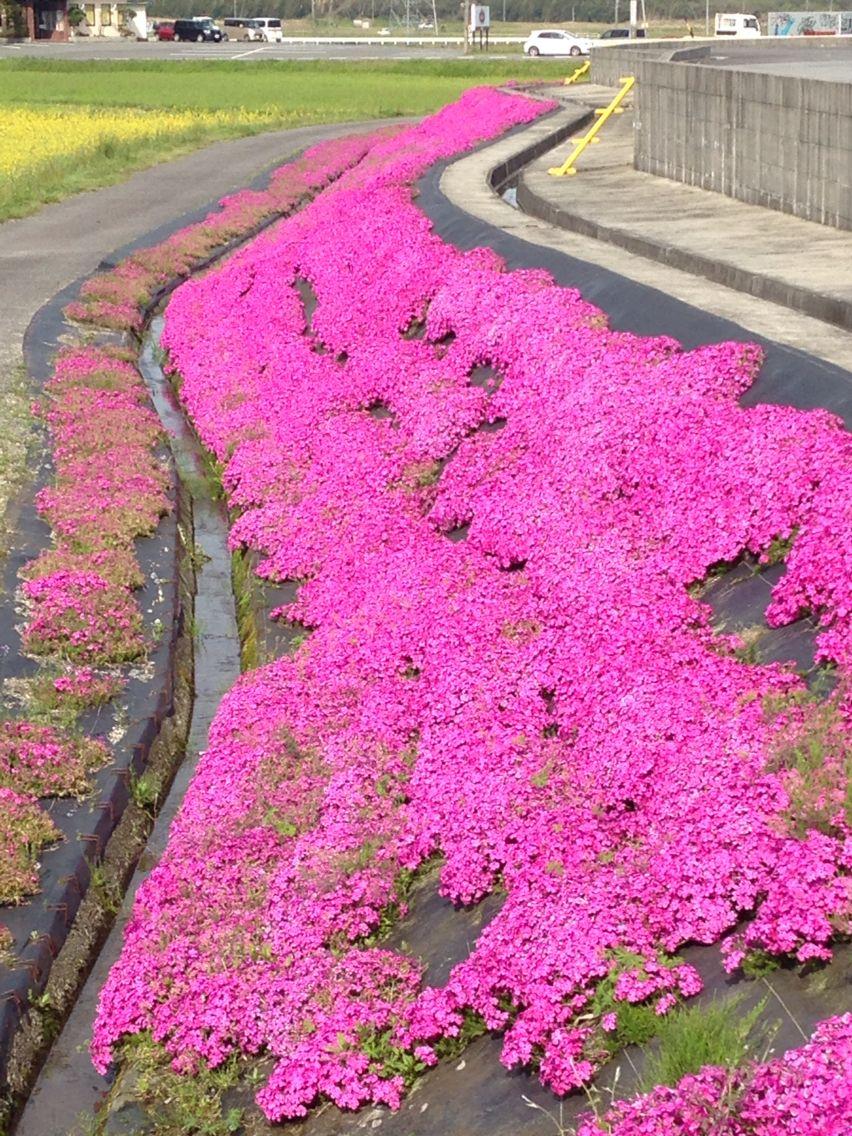菰野町の芝桜 | 撮影した場所 | Pinterest