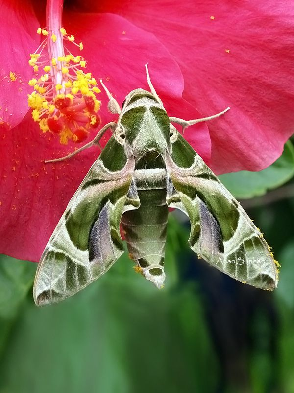 Oleander Hawk moth.  Nature and macro photography by Anan Suphap