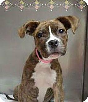 Marietta, GA Boxer Mix. Meet SHELLEY, a puppy for