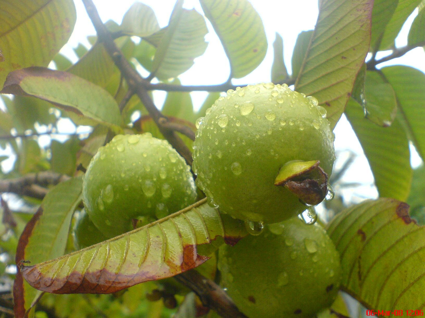 Guava Wallpaper Hd Wallpapers Backgrounds High Resolution Desktop Guava Fruit Guava Leaves Guava Benefits