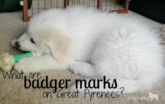 Great Pyrenees Badger Marks Great Pyrenees Pyrenees Pyrenees