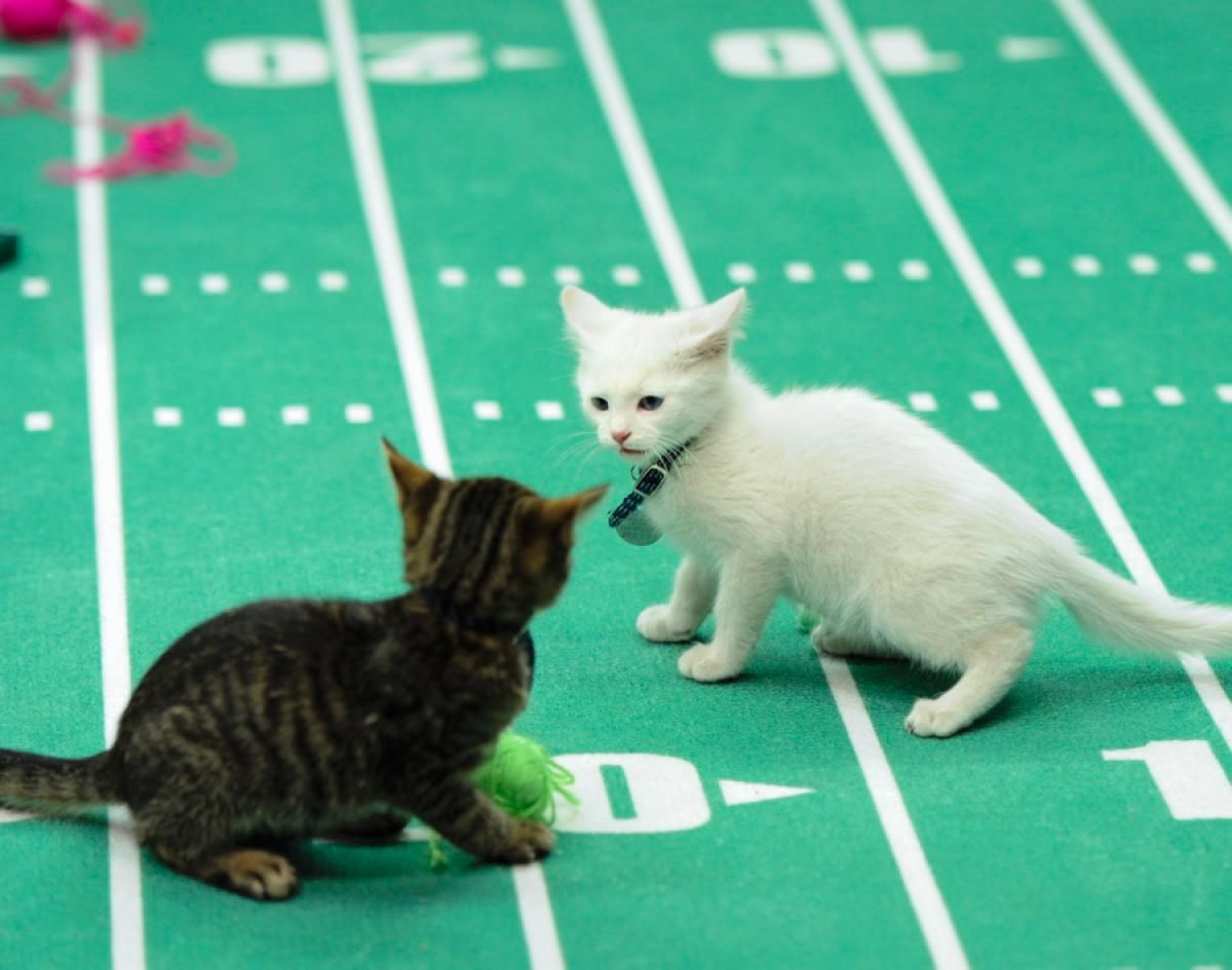 A First Look At The Kitten Bowl And One Kitty S Harrowing Journey To Adoption Kitten Bowls Kitten Animal League
