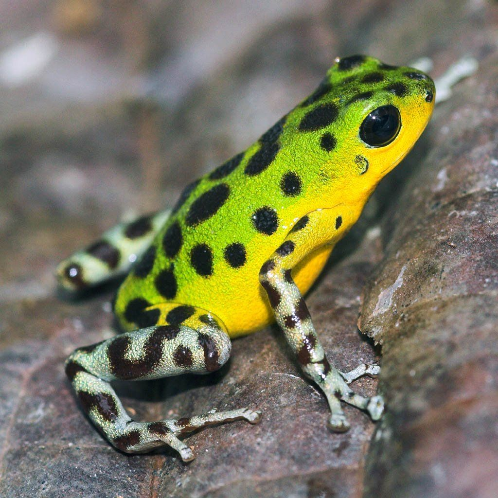 Strawberry poison-dart frog - Wikipedia, the free ... Poisonous Green Frogs Of North Carolina
