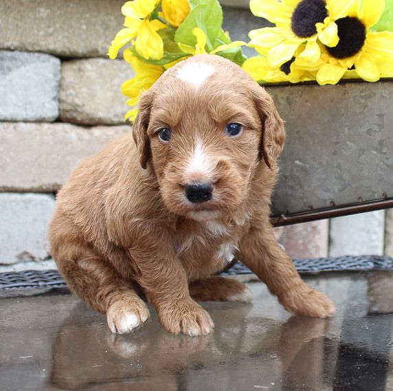Goldendoodle puppy for sale in New Haven, Indiana