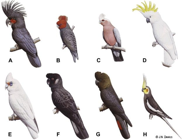 Image result for types of cockatoo parrots