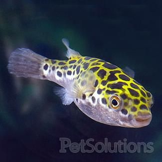Spotted puffer brackish fish for freshwater aquariums for Dwarf puffer fish for sale