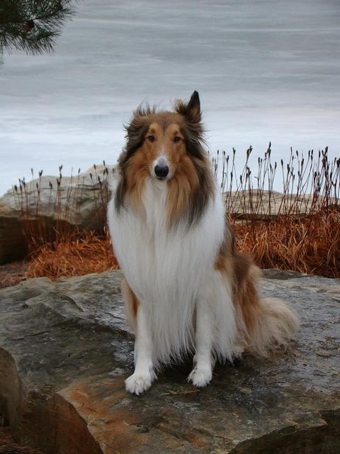 Our Rough Collie Buddy Rough collie, Dogs, Dog breeds
