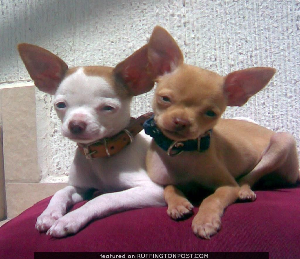 What Cute Little Buddies Chihuahua Dogs Chihuahua Puppies