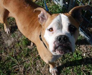 Sierra Is An Adoptable American Bulldog Dog In Spring Hill Fl