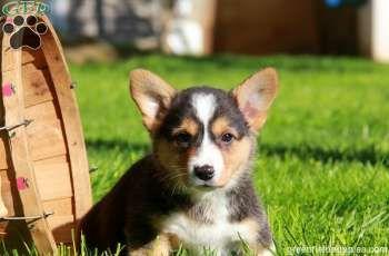 Pembroke Welsh Corgi Puppies For Sale In Pa Corgis Pembroke