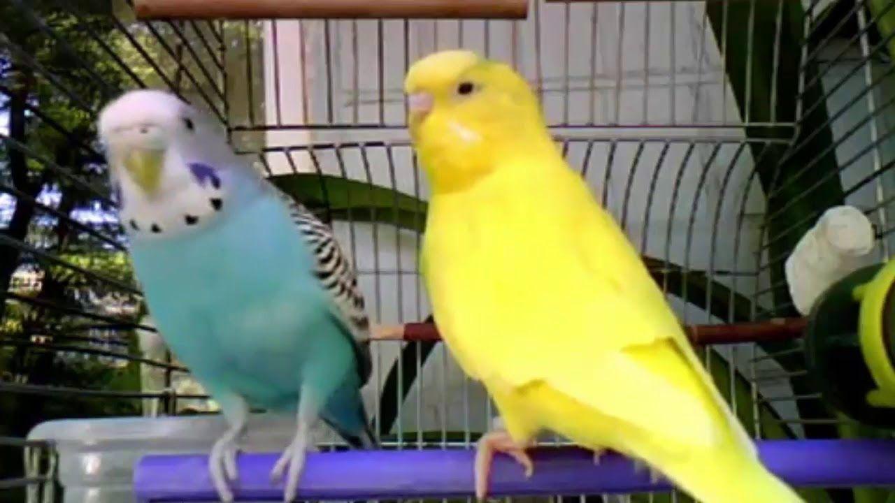 singing of wavy parrots, nature sounds, nature sound, sound