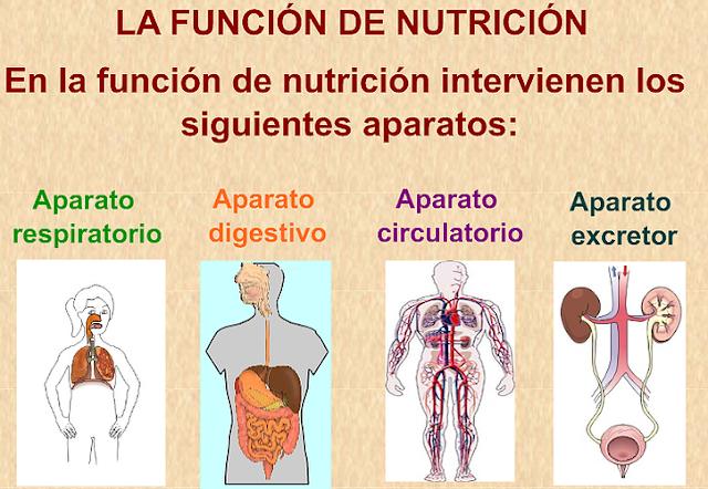 6º Primaria Ceip Antonia González La Función De Nutrición Funciones De Nutricion Nutrición Sistema Digestivo Para Niños