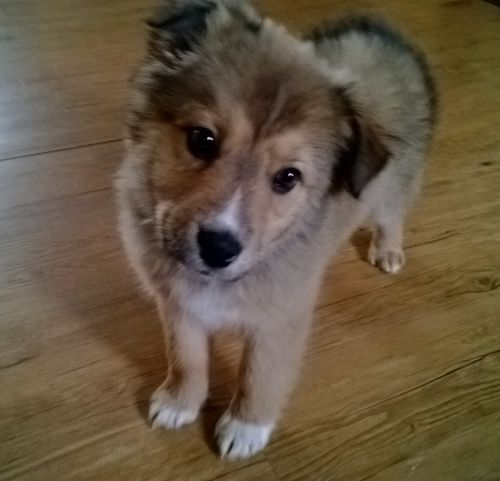 Adopt Fergie Adopted On Shepherd Mix Dog Shepherd Dog Collie
