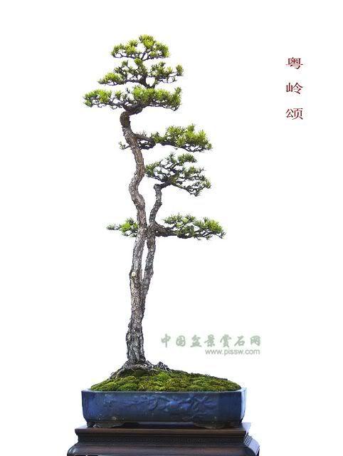 Ghim Tren Trees