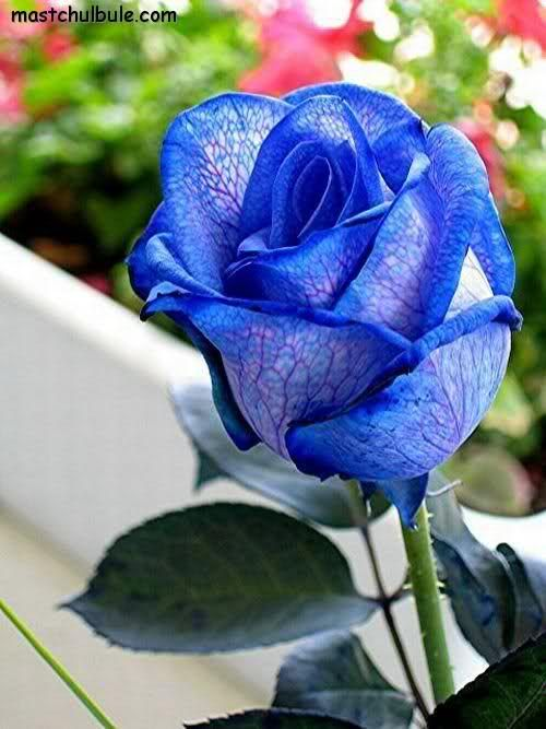 Nature blessings blue roses rare beautiful flower ur nature blessings blue roses rare beautiful flower ur pinterest landscape wallpaper blue roses and beautiful flowers mightylinksfo Image collections