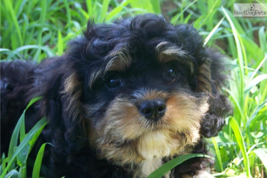 Cavapoo For Sale For 1 200 Near Athens Georgia 9288ac1a