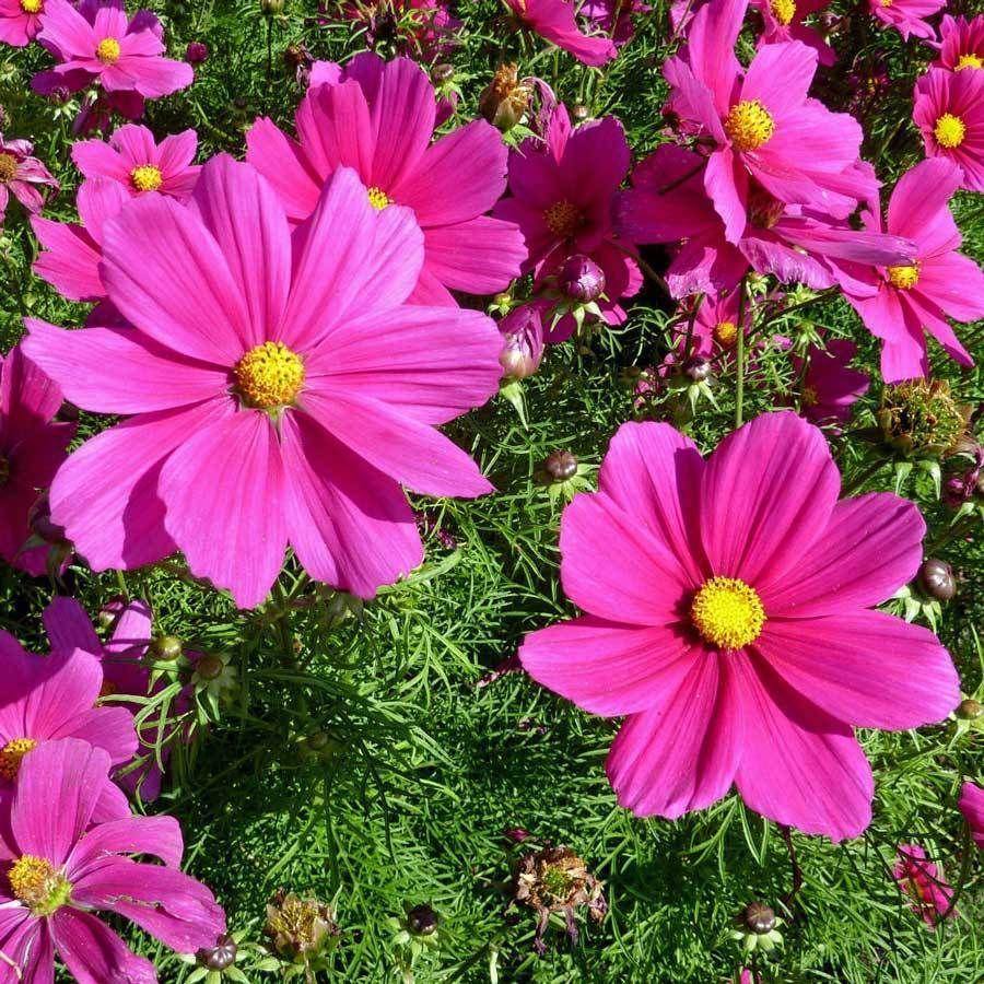 Details About Cosmos Seeds Radiance Deep Rose Flowers Cosmos Bipinnatus 25 Seeds Em 2020 Belas Flores Flores