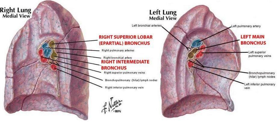 Right lung and left lung medial view and hilum | Anatomy note world ...
