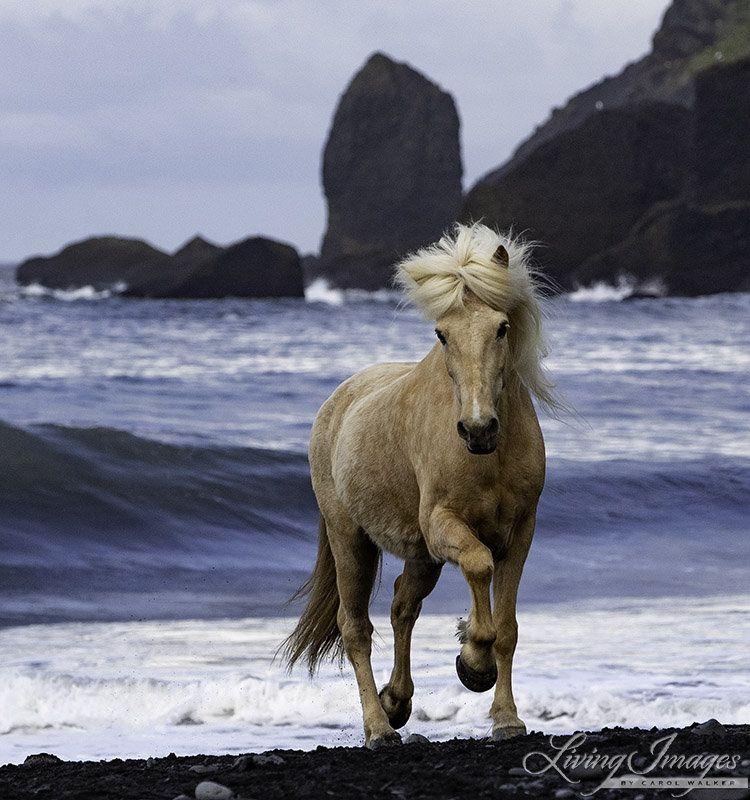 Horse Photography Icelandic Horse Wall Art Iceland Print