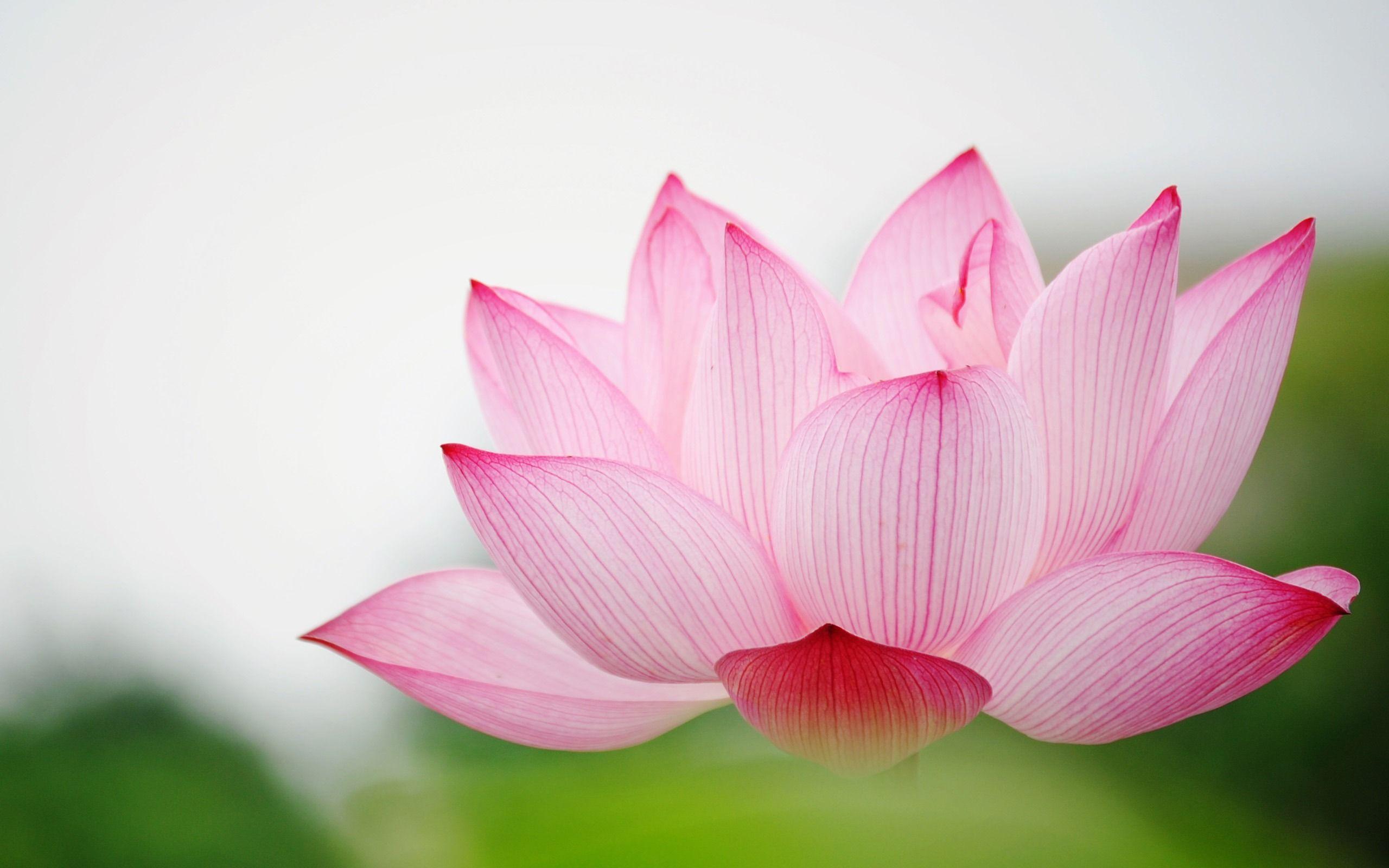 Pink lotus flower wallpaper wallpapersafari healing pink lotus flower wallpaper wallpapersafari izmirmasajfo