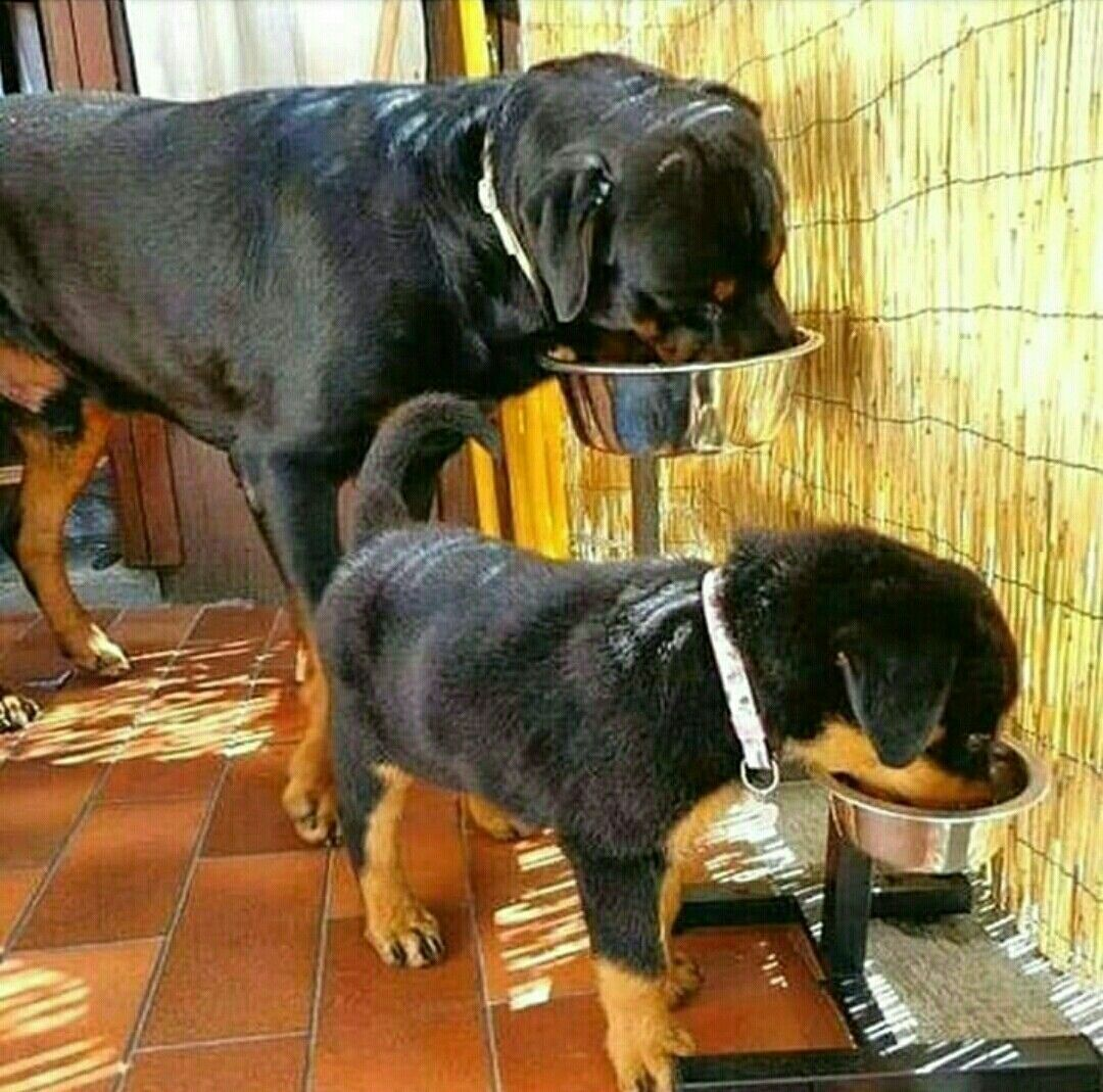 Drink time rottie father and son rottweiler dogs