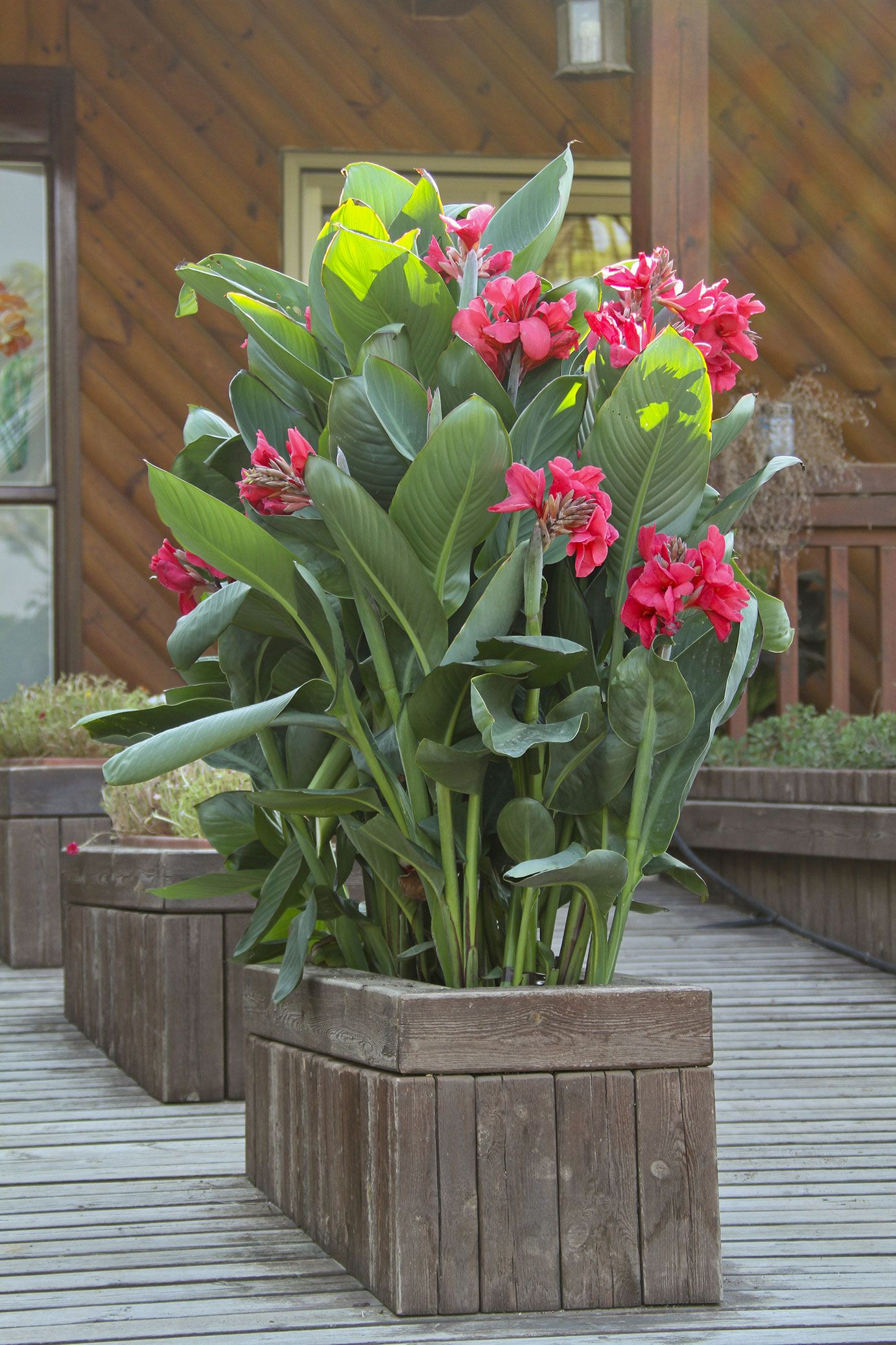 large patio containers planted with canna 39 rosita 39 create a beautiful screen of vibrant. Black Bedroom Furniture Sets. Home Design Ideas