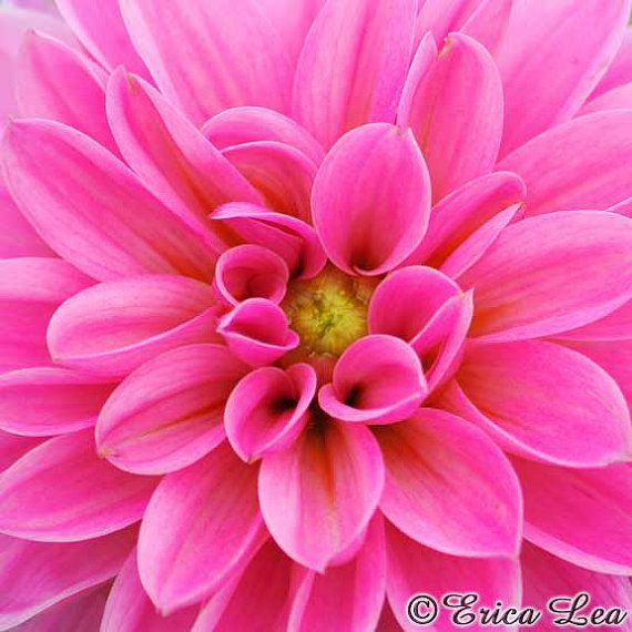 Hot pink flower photography dahlia photo nature photography flower wall art floral nursery decor for girls