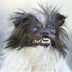 Chien Le Plus Laid voici peanut, le chien le plus laid du monde | animaux | chien