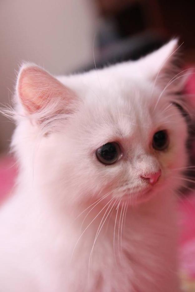 Account Suspended Persian Kittens Pet Birds Persian Kittens