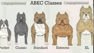 American Staffordshire Terrier Vs Pitbull Pitbull Terrier