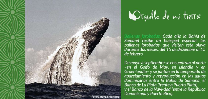 Ballenas Jorobadas Samaná Whale Samana Animals