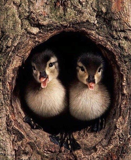 صور بط معلومات وصور جميلة جدا عن البط Cute Animals Animals Baby Animals