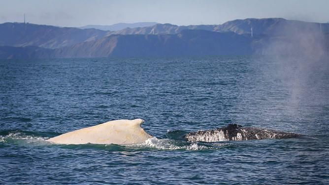 The Spotting of a Rare White Whale Is Good News for the Species' Comeback