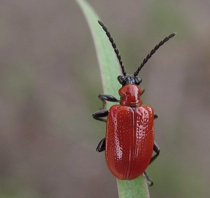 red beetle insects amp arachnids pinterest red beetle