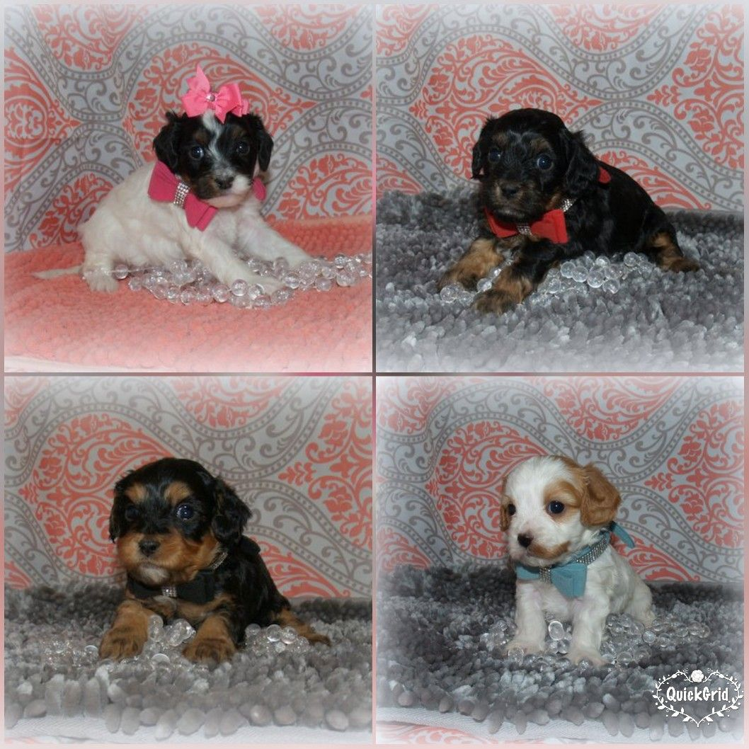 Gorgeous Cavapoo pups for sale in Northeast Alabama  Brown's