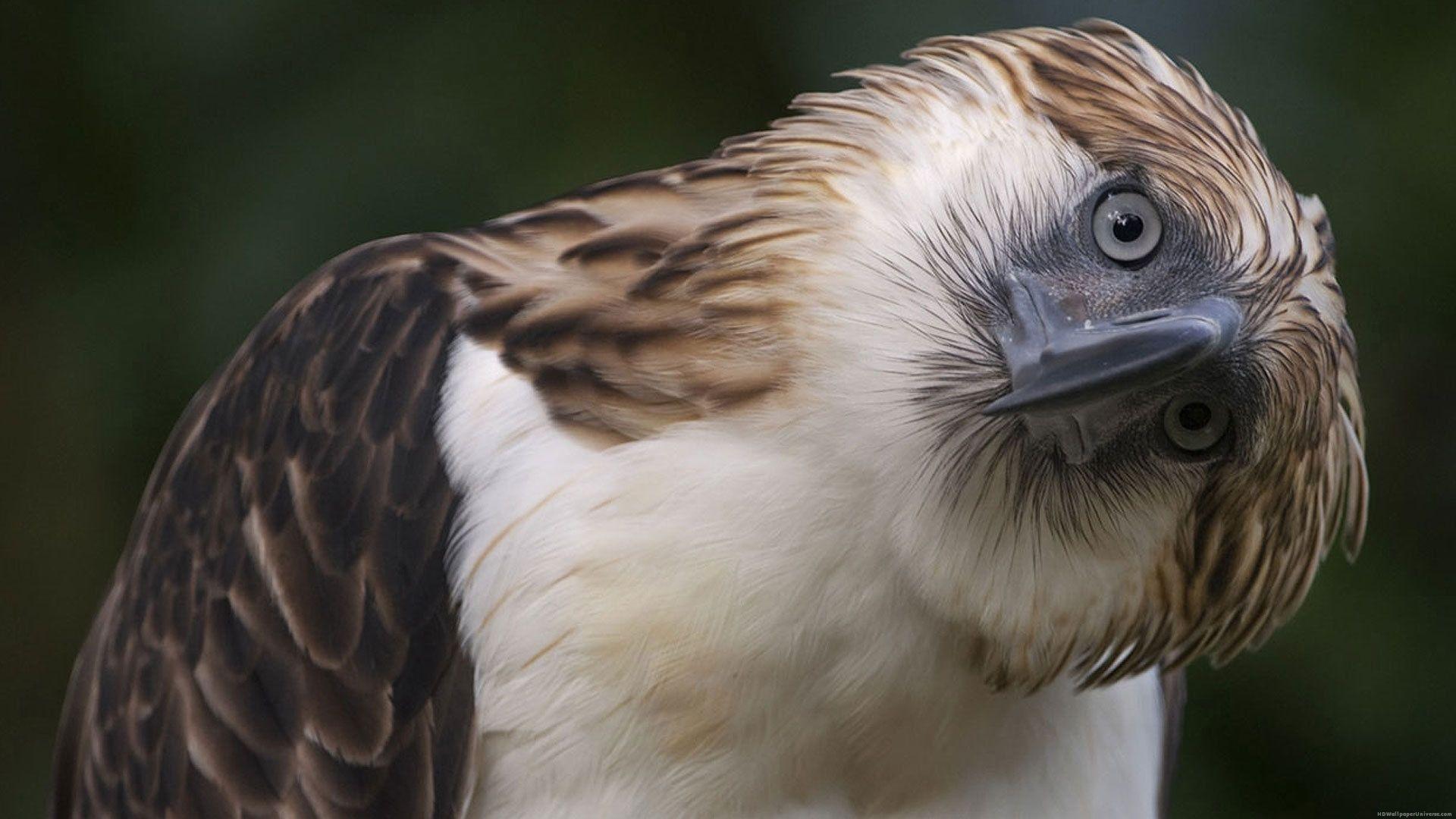 Bird Of Prey Hd Wallpaper Desktop Background Free Wallpapers Philippine Eagle Pet Birds Animals